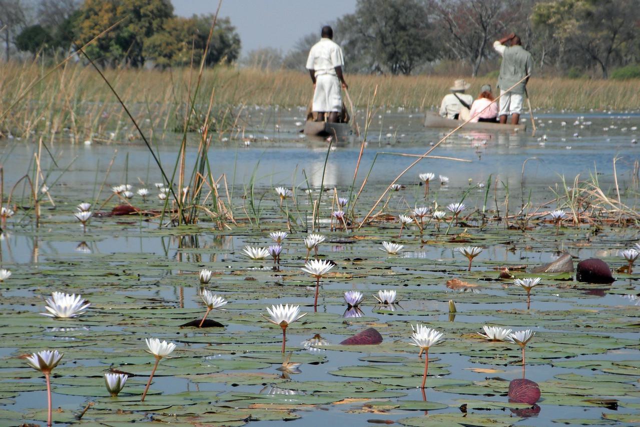 Water lilies in the Okavango Delta